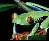 pacific_tree_frog