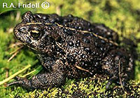western_toad_2