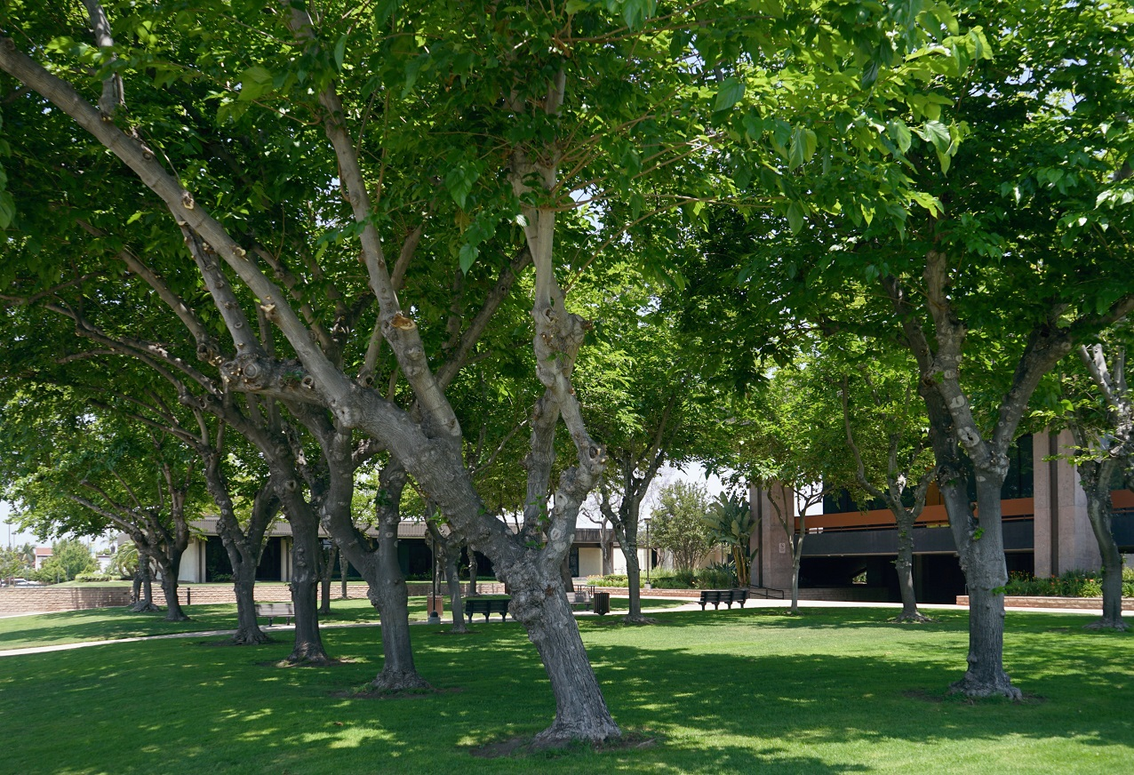 Picture of Trees in Cypress Civic Green Area